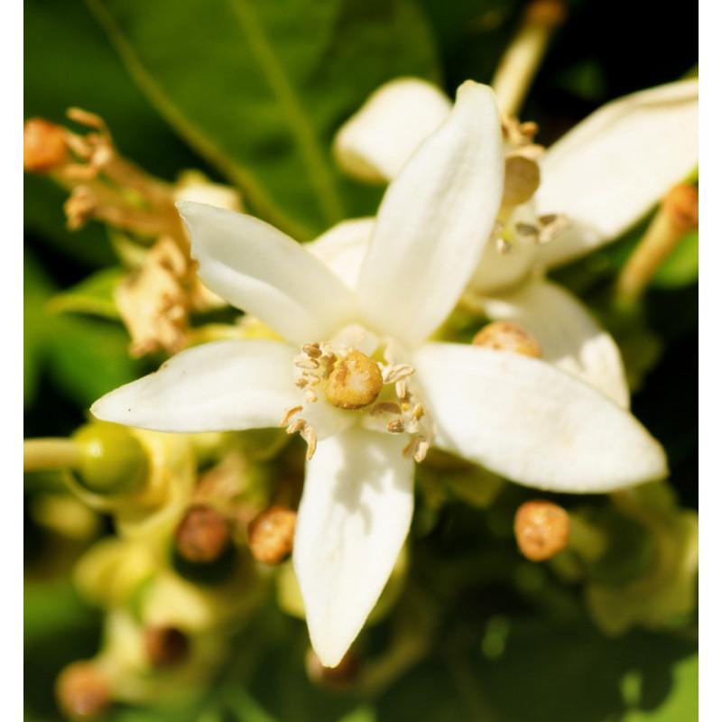 yodeyma orange blossom