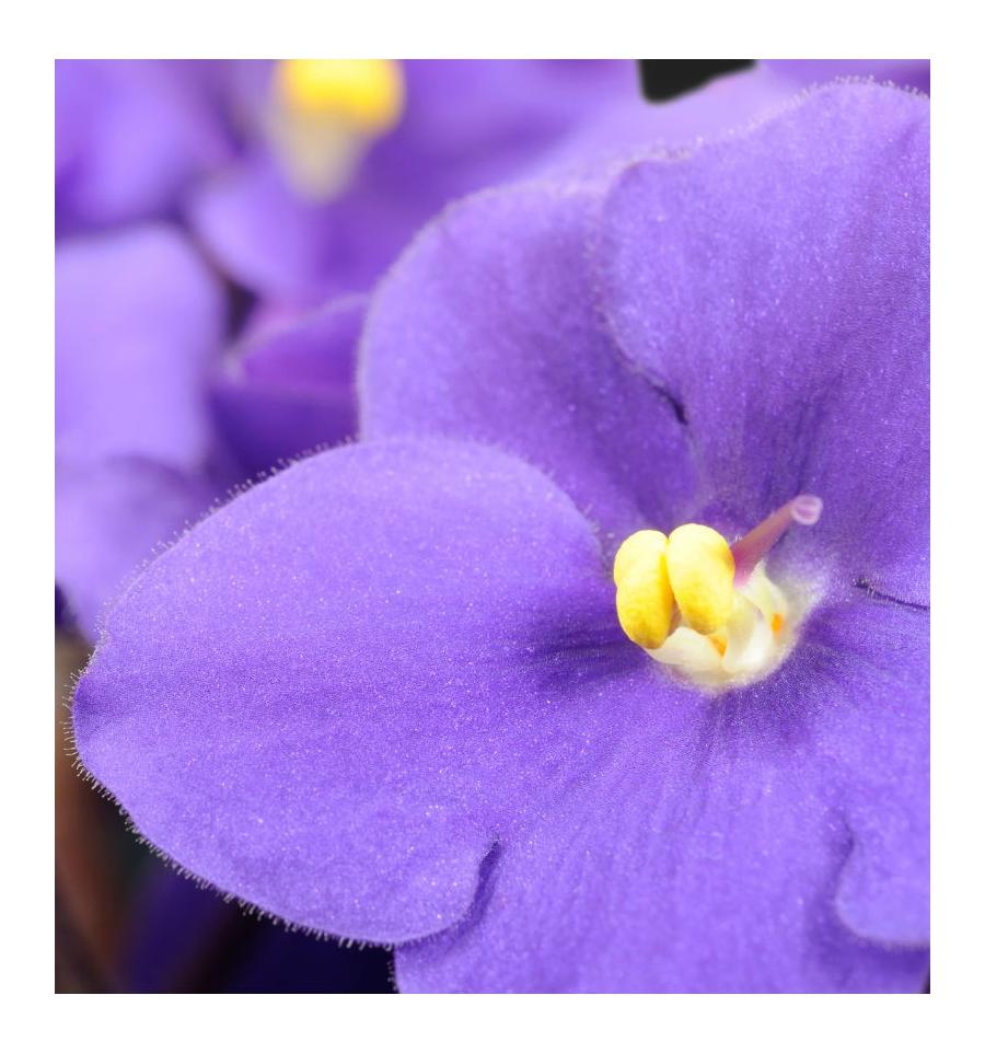 yodeyma violet flower
